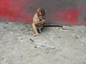 Picture1 chained monkey