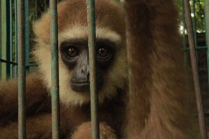 gibbon rescued in aceh by OIC
