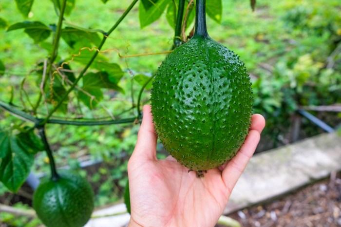 台東農遊行2—木虌果:來自天堂的果實
