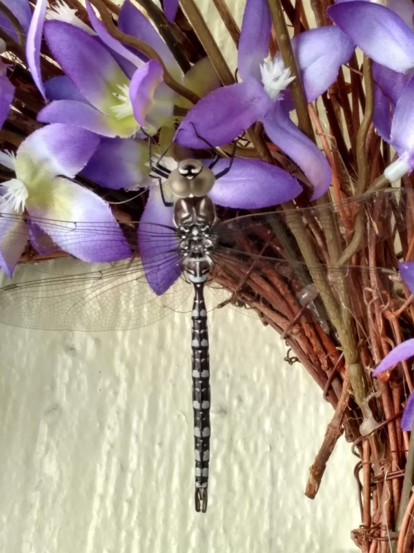 Another Dragonfly Visit!