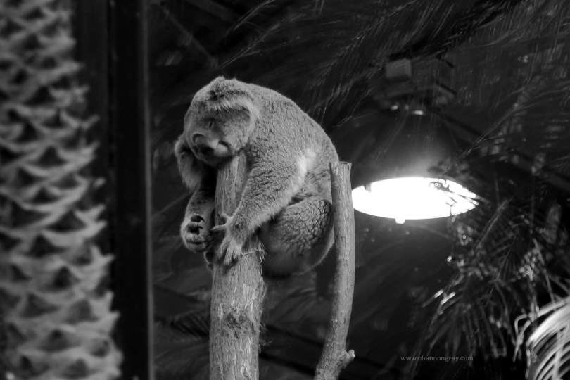 Koala at ZooParc Du Beauval