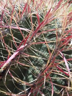 Barrel cactus close-up