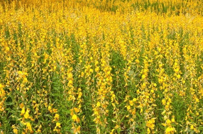 Sunn-hemp field, Crotalaria Juncea