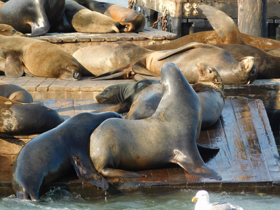 旧金山渔人码头海豹