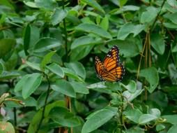 全球變暖中的帝王蝶,近幾年越來越少