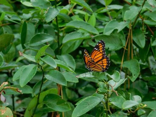 全球变暖中的帝王蝶,近几年越来越少