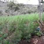 Cinco mil pés de maconha são erradicados em Lençóis