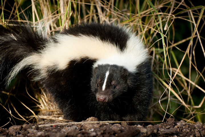 Orange County Woman Scratched by Rabid Skunk