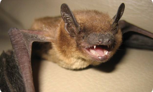 Bat In Family Playroom Marks Orange County's 6th Rabies Case
