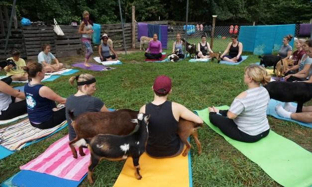 Durham Farm Brings Goat Yoga to the Triangle