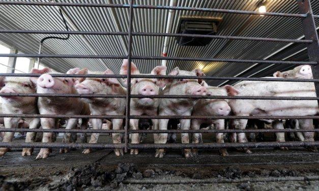 Lawsuit Blames Pork Giant for Noxious Farm Smells