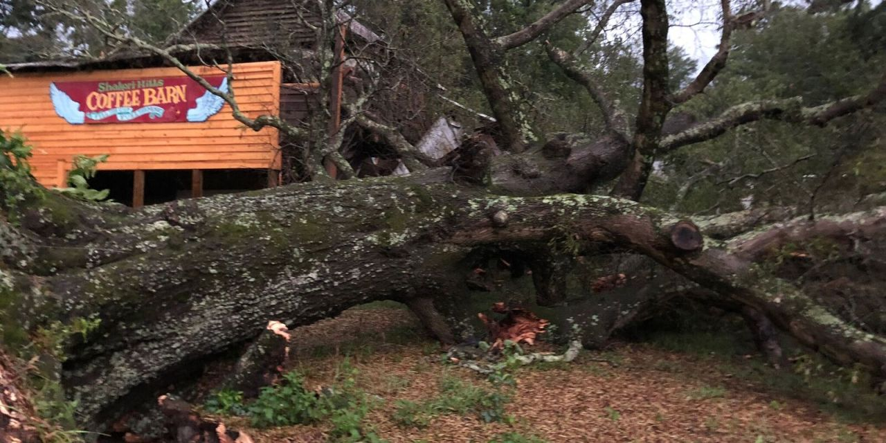 Storm Topples 175-Year-Old Tree on Shakori Hills Grounds