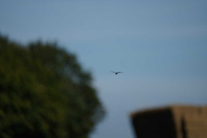 flying dragonfly.