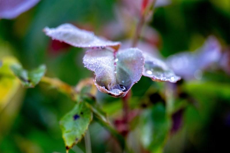 dew on a rosebush.