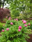 Biese Garden Peony Buds