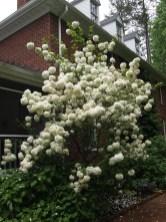 Curcio Garden Viburnum