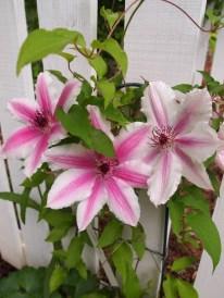Norwood Garden Clematis