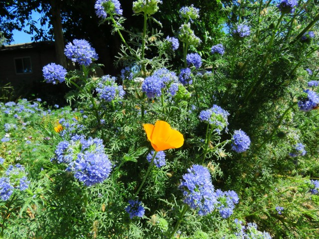 Poppy and Ceanothus. Credit Jim Wadsworth.