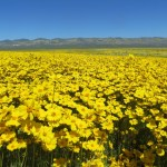 bright yellow native flowers, huge field in Central Valley