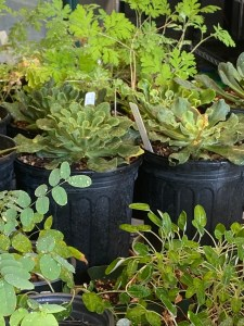 plants in 1-gallon pots ready for sale