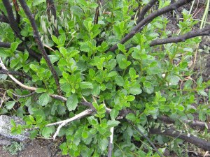 Shrub about one-ft tall with many new leaves, and burned branche sticking out