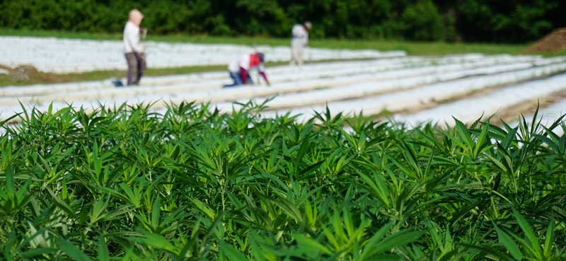 overlooking hemp field being planted for NC State growing trial