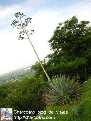 Mira! un agave :)