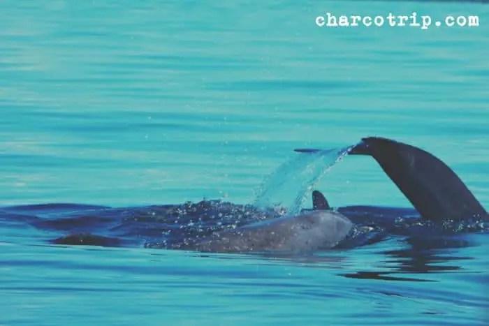 aleta-delfin-bocas-del-toro