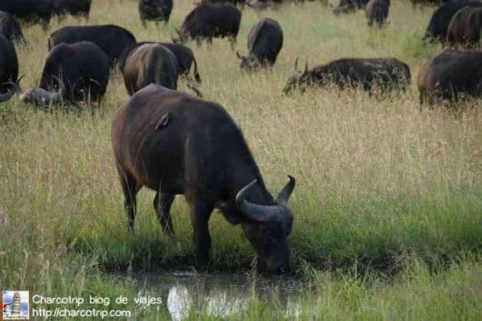 bufalo-bebiendo-masai-mara