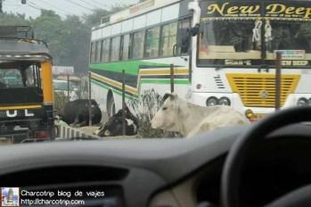 calles-amristar-vacas