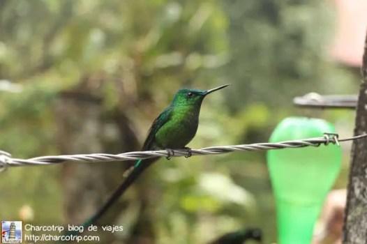 colibri-acaime-cocora1