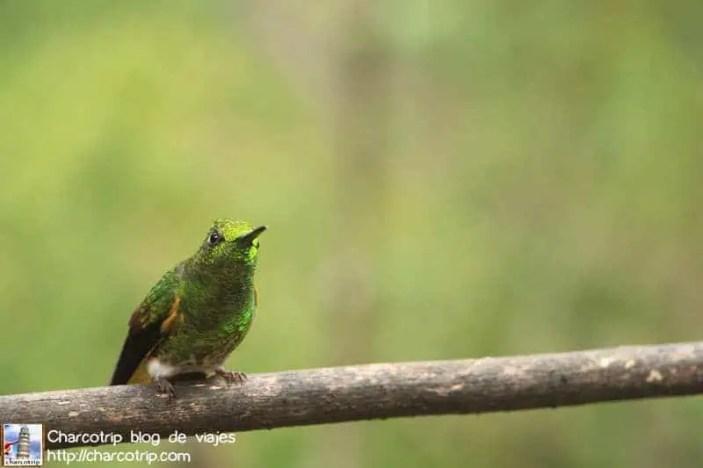 colibri-acaime-cocora11