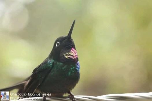 colibri-acaime-cocora2