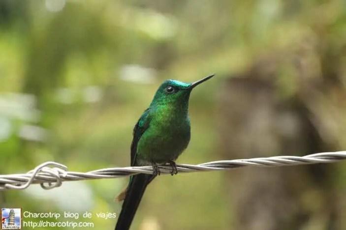 colibri-acaime-cocora3
