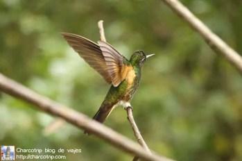colibri-acaime-cocora5
