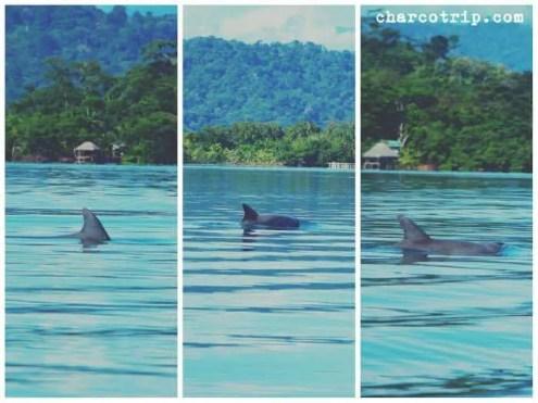 delfines-bahia-bocas-del-toro
