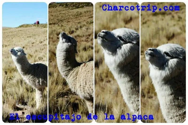 Fases del escupitajo de una alpaca