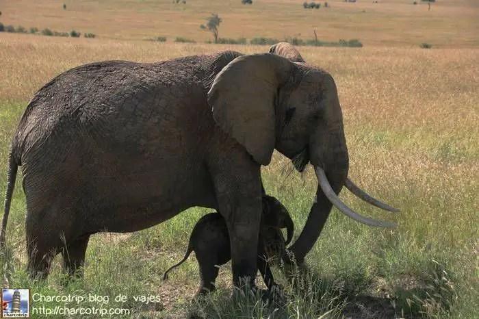 elefante-madre-hijo-masai-mara