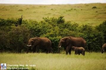 elefantes-masai-mara