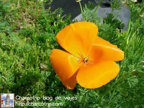 flor anaranjada la rochelle