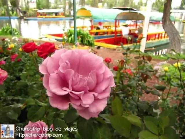 Una de las flores de Xochimilco