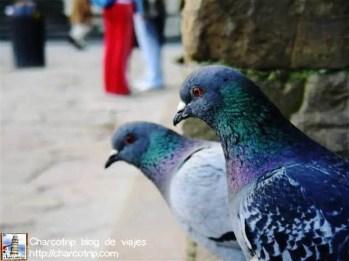 Las palomas posando