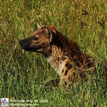 hiena-perfil-masai-mara