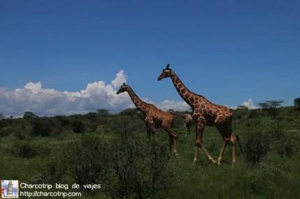 jirafas-buffalo-springs