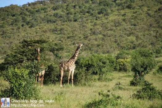 jirafas-masai-mara