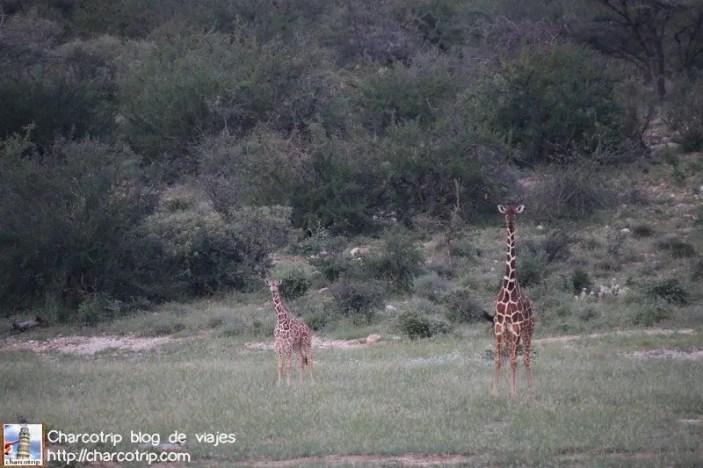 mama-bebe-jirafa-safari-shaba-kenia