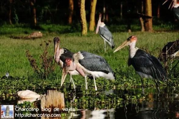 marabu-naivasha1