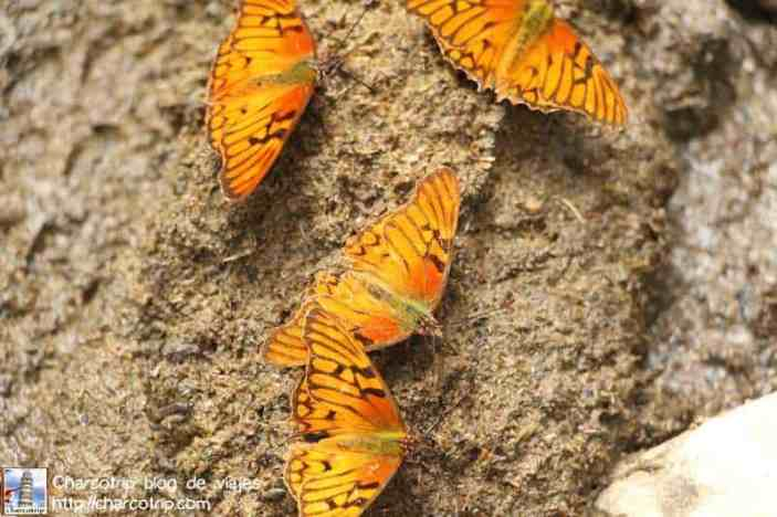 mariposas-cocora