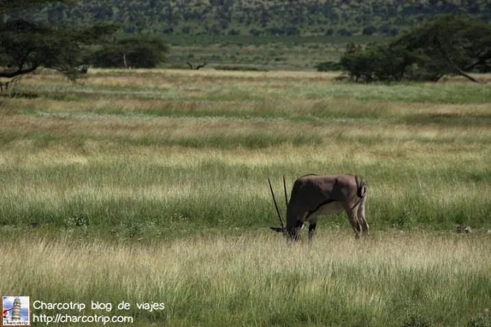 Oryx solitario