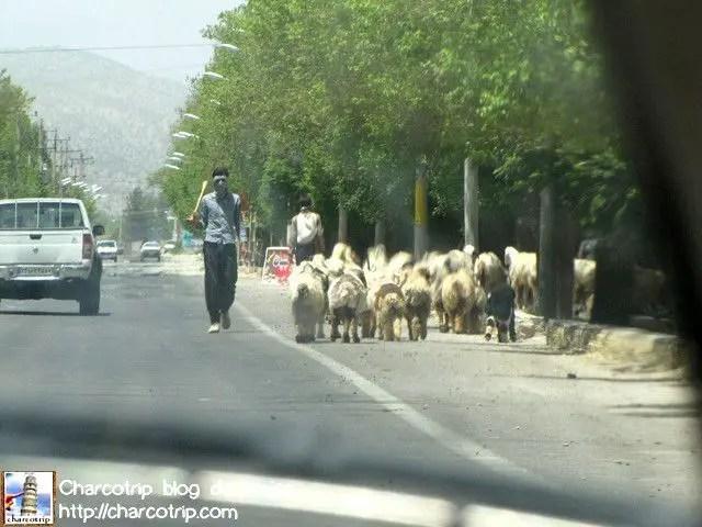 Las ovejas siguen su camino
